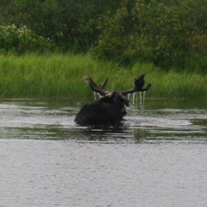 Moose Safari Adventures