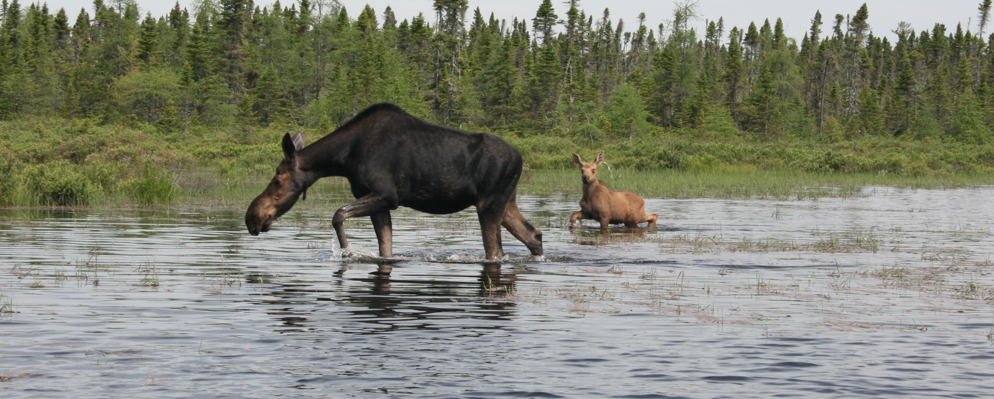 Moose Safaris